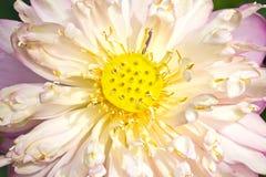 Closeup pink lotus Royalty Free Stock Photos
