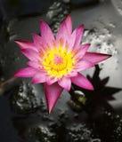Closeup of Pink Lotus flower Royalty Free Stock Photos