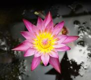 Closeup of Pink Lotus flower Stock Photo