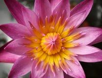 Closeup of Pink Lotus flower Stock Image