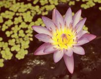Closeup of Pink Lotus flower Stock Image