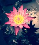 Closeup of Pink Lotus flower Royalty Free Stock Photo