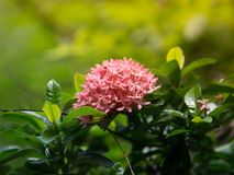 Closeup Pink Mini Ixora coccinea flowers blooming in the garden for background. Rubiaceae family, Thailand stock photo
