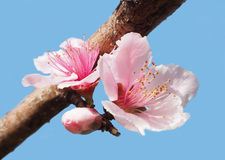 Closeup of Pink Nectarine Blossoms Against Bright Blue Sky Stock Image
