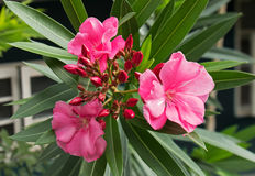 Closeup of Pink Oleander Flowers with Buds Royalty Free Stock Photography