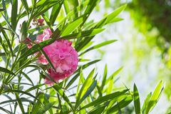 Closeup pink oleander or Nerium oleander blossoming on tree. Close up soft pink sweet oleander flower or rose bay on the petal and. Green in the sunrise Royalty Free Stock Photography