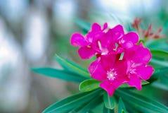 Oleander or Nerium oleander flower blooming stock photos