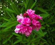 Closeup pink oleander.  Nerium oleander blossoming on tree Stock Image