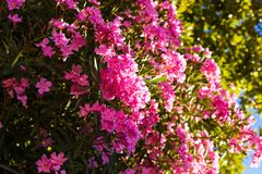 Closeup of a pink oleander and Nerium oleander blossoming on a tree - beautiful floral background, texture.  Stock Image
