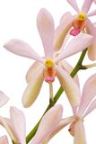 Closeup Pink Orchid Royalty Free Stock Photography