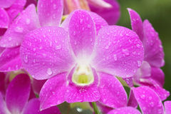 Closeup  pink orchid branch Royalty Free Stock Images