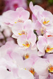 Closeup of pink orchid phalaenopsis. Royalty Free Stock Photo