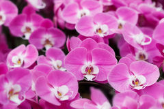 Closeup of pink orchid phalaenopsis. Royalty Free Stock Photos