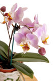 Closeup of pink orchid. Royalty Free Stock Photography