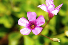 Closeup Pink oxalis Royalty Free Stock Photo