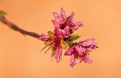 Peach tree blossoms Stock Images