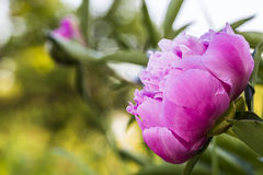 Closeup of a pink peony flower in a garden Stock Photography