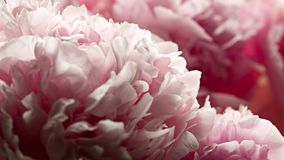 Macro background of peony flower. Closeup of pink peony flowers in soft blur style. Shallow depth of field Stock Photography