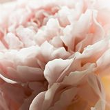 Macro background of peony flower. Closeup of pink peony flowers in soft blur style, vintage toned image. Shallow depth of field Royalty Free Stock Photos