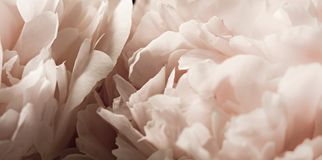 Macro background of peony flower. Closeup of pink peony flowers in soft blur style, vintage toned image. Shallow depth of field Royalty Free Stock Images