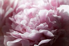 Macro background of peony flower. Closeup of pink peony flowers in soft blur style, vintage toned image. Shallow depth of field Stock Images