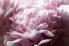 Macro background of peony flower. Stock Images