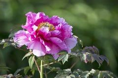 Closeup of a pink peony royalty free stock image