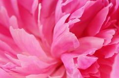 Closeup of pink peony Stock Photo