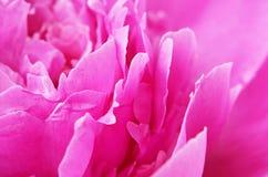 Closeup of pink peony Royalty Free Stock Photo