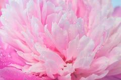 Closeup Of Pink Peony Royalty Free Stock Photos