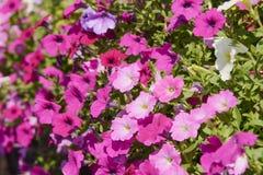 Closeup of pink petunia flowers Stock Photo