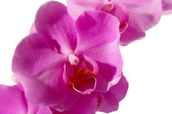 Closeup of a pink phalaenopsis Stock Photography