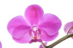 Closeup of pink Phalaenopsis flowers Royalty Free Stock Photos