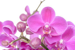 Closeup of pink Phalaenopsis flowers Stock Images