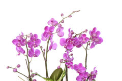 Closeup of pink Phalaenopsis flowers Stock Image