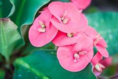 Closeup pink Poi Sian flowers Stock Photos