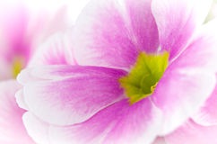 Closeup of pink primrose flowers Royalty Free Stock Photo