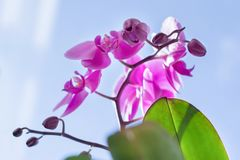 Closeup of pink purple orchid flowers, blue sunny sky background, spring at home, spring holidays.  royalty free stock image