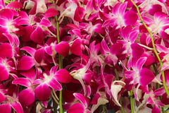 Closeup Pink and Purple orchid flowers with green leaf Stock Photos