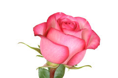 Closeup pink and red rose Royalty Free Stock Image