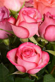 Closeup pink and red rose Royalty Free Stock Images