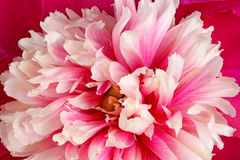 Closeup of a pink, red and white peony flower fills the frame Stock Image