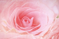 Closeup of a pink rose. With antique finish Stock Photo