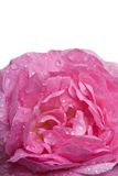 Closeup pink rose. With water drops isolated over white Royalty Free Stock Images