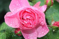 Closeup of an pink rose. Bud Royalty Free Stock Photography
