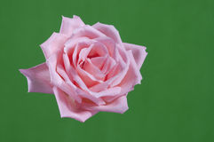 Closeup pink rose Royalty Free Stock Photo