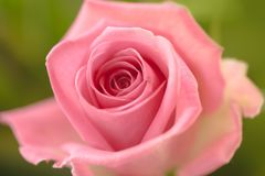 Closeup of a pink rose. Against defocused green background Stock Image