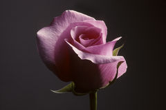 Closeup of pink rose against a gray background Royalty Free Stock Photos
