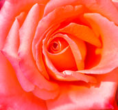 Closeup of pink rose. For background Stock Images