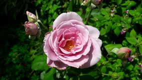Closeup of pink rose blooming. With few smaller bubs at each side and green leaves in background Stock Photos